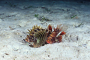 shortfin or dwarf lionfish, turkeyfish, or butterfly cod,<br /> Dendrochirus brachypterus, courtship; <br /> male on the right persues and nudges female,<br /> Mabul Island, off Borneo, <br /> Malaysia ( Celebes Sea )