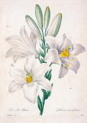 19th-century hand painted Engraving illustration of a Madonna Lily flower (Lilium candidum). By Pierre-Joseph Redoute. Published in Choix Des Plus Belles Fleurs, Paris (1827). by Redouté, Pierre Joseph, 1759-1840.; Chapuis, Jean Baptiste.; Ernest Panckoucke.; Langois, Dr.; Bessin, R.; Victor, fl. ca. 1820-1850.