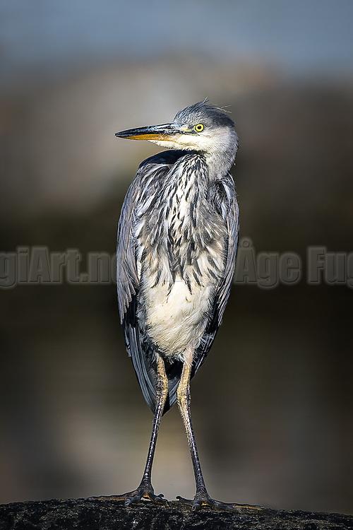 Posing Grey Heron | Poserende Gråhegre