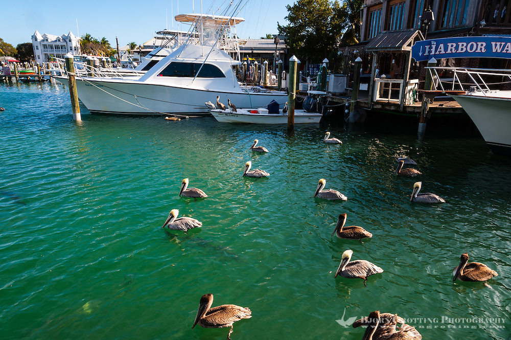 US, Florida, Key West. Brown Pelicans, large tarpon's swimming beneath the surface.
