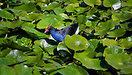 An Australasian swamphen forages through the lily leaves of a lake in Pukekura Park, New Zealand