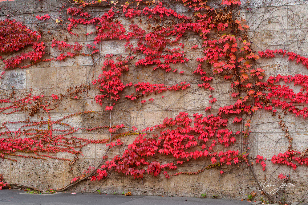 Ivy on the wall in autumn, Wurzburg, Bavaria, Germany