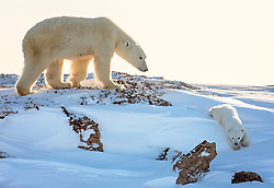 Newly emerged from their den, a polar bear cub enjoys the freedom and playtime on the snow-covered tundra in Wapusk National Park, Canada <br /> <br /> BIO: Michelle Valberg is an award-winning Canadian wildlife photographer who has been telling stories with her camera for more than 30 years. She has traveled to all continents in search of adventure and photographic opportunities. She is particularly celebrated for her passion for Canada and the Arctic. A Canadian Nikon Ambassador, her images appear on magazine covers, in numerous publications, exhibitions and embassies worldwide. Her iconic images appear on a Royal Canadian Mint coin and on Canada Post stamps. Michelle's work extends beyond photography. In 2009, she founded Project North, a not-for-profit organization committed to delivering education and sport-based opportunities to youth in Canada's Arctic. Since its inception, $1,000,000 in new sports equipment has been delivered to more than 30 northern communities in Canada. Michelle is the first Canadian Geographic Photographer-in-Residence and she has published 4 books. Michelle is a Fellow of the Royal Canadian Geographic Society and an International Fellow of the Explorer's Club in New York City. <br /> <br /> WEBSITE: michellevalberg.com<br /> INSTAGRAM: @michellevalbergphotography