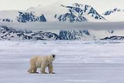 A polar bear (Ursus maritimus) walking on sea ice in an icy landscape, Spitsbergen, Svalbard, Norway