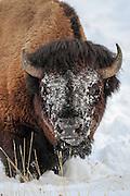 American Bison (Buffalo) in habitat