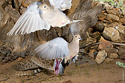 DOUBLE LUCK | Western Diamond-backed Rattlesnake (Crotalus atrox ) strikes and misses two Mourning Doves (Zenaida macroura).