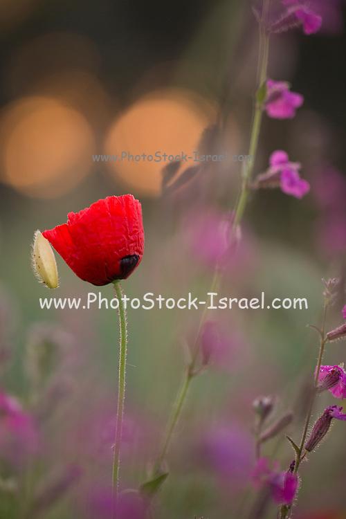Red wild poppy, soft focus