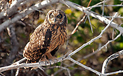 Short-eared owl (Asio flammeus) from the island of Genovesa, Galapagos.