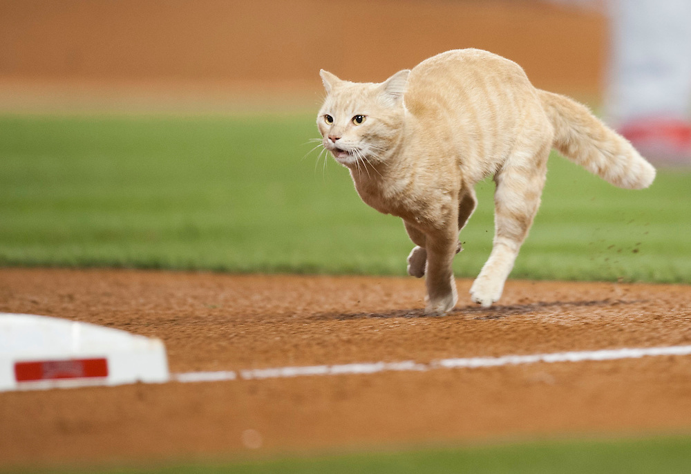 A stadium cat runs across the field during the Angels game against the St. Louis Cardinals Thursday at Angel Stadium.<br /> <br /> ADDITIONAL INFO:   <br /> <br /> angels.0405.kjs  ---  Photo by KEVIN SULLIVAN / Orange County Register  -- 5/12/16<br /> <br /> The Los Angeles Angels take on the St. Louis Cardinals Thursday at Angel Stadium.