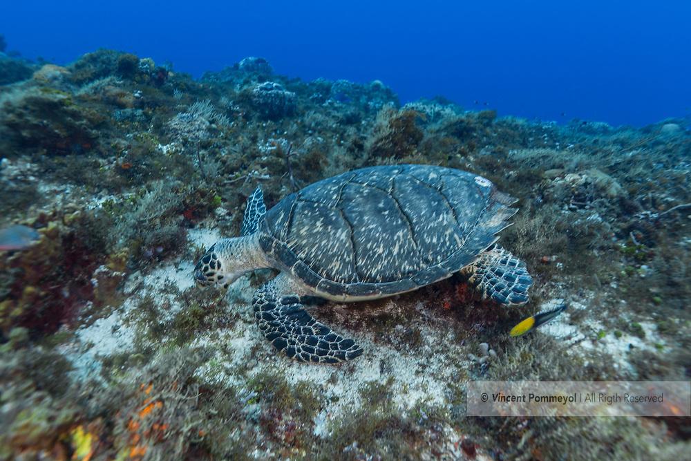 Hawksbill sea turtle-Tortue imbriquée (Eretmochelys imbricata), Cozumel, Yucatan peninsula, Mexico.