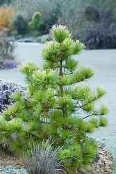 Pinus radiata 'Aurea' on a frosty morning in winter at Ashwood Nurseries