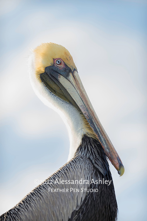 Brown pelican sits above eye level on piling in early evening, backlit by setting sun.
