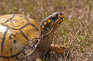 A close-up of an eastern box turtle.