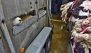 Nederland, Elsendorp, 15-10-2019 Schapen worden ritueel geslacht bij een slagterij om het offerfeest te vieren. Schapen worden aangevoerd en komen langs een stapel huiden van pas geslachte dieren. Slachtafval wordt later door afvalverwerker Rendac opgehaald. Foto: ANP/ Hollandse Hoogte/ Flip Franssen