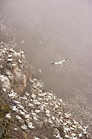 Gannet (Morus bassanus) in flight, Hermaness, Shetland Isles. Scotland