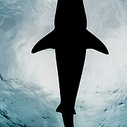 The silhouette of a tiger shark (Galeocerdo cuvier) in The Bahamas.