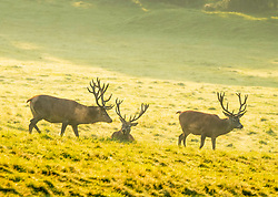 © Licensed to London News Pictures; 22/09/2020; Bristol, UK. Deer and stags are seen in the early morning light at Ashton Court Estate on the first day of autumn, the autumn equinox when the length of the day and night is equal. The warm weather is set to change with unsettled conditions and a drop in temperature. Photo credit: Simon Chapman/LNP.