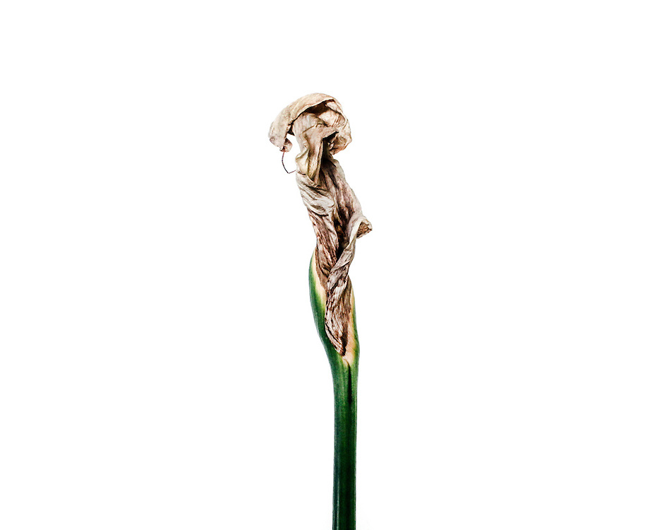 Still Life study of a withering Lily