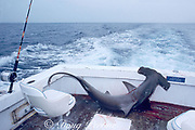 scalloped hammerhead shark, Sphyrna lewini, caught by sport fisherman, Miami, Florida, USA ( Western Atlantic Ocean )