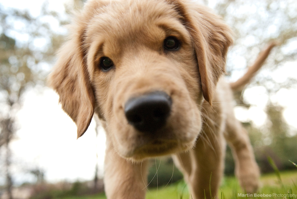 A three-month-old golden retriever puppy