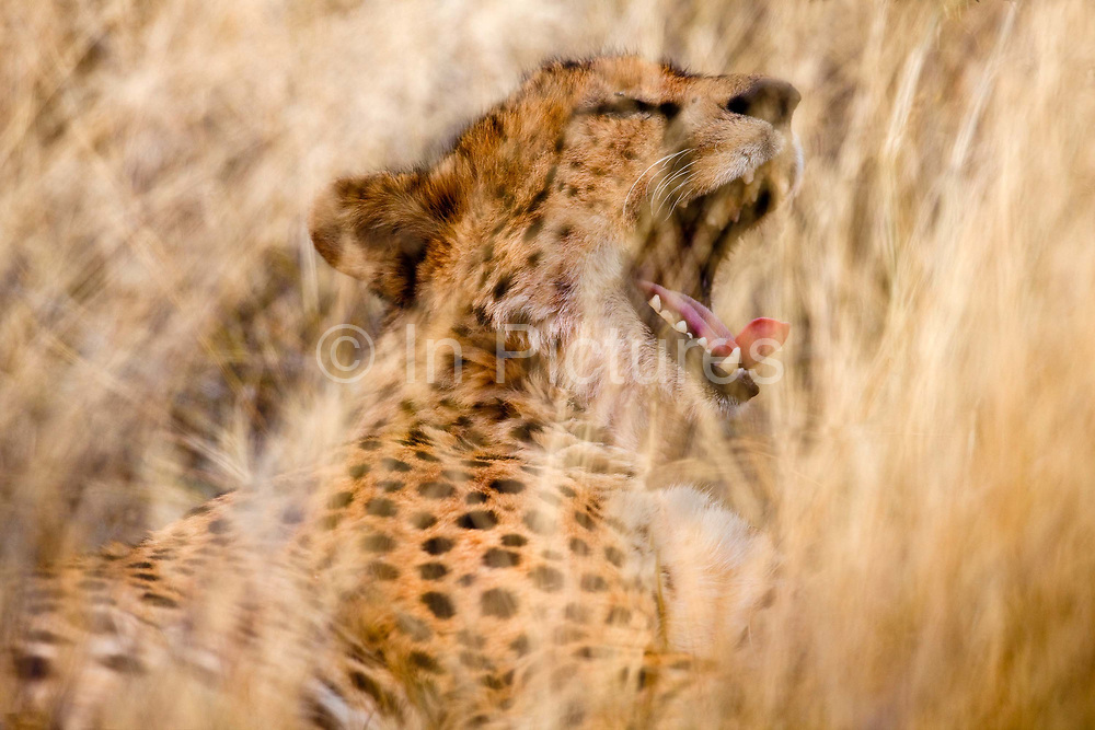 Tswalu Kalahari Reserve, the Oppenheimer family-owned reserve near the very small town of Vanzylsrus. Cheetah enjoying a meal