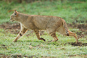 Jungle Cat (Felis chaus) in the wild. Sometimes called Reed Cat or Swamp Lynx. Photographed in Israel in the wild