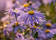 Dew covered petals of Aster amellus 'King George' at Waterperry Gardens, Waterperry, Wheatley, Oxfordshire, UK