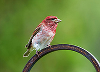 Purple Finch (Carpodacus purpureus) perched in a garden Cherry Hill, Nova Scotia, Canada