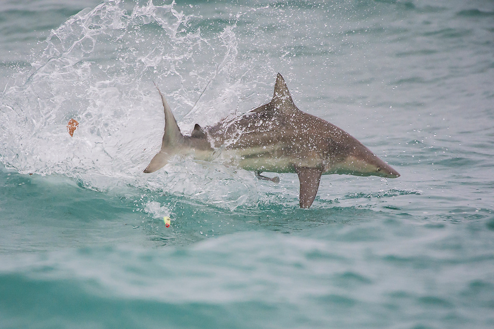 A Black tip Shark, Carcharhinus limbatus, leaps, spins and hunts in the shallows offshore Palm Beach County, Florida, United States, during the species' migration in late winter / early spring. Image available as a premium quality aluminum print ready to hang.
