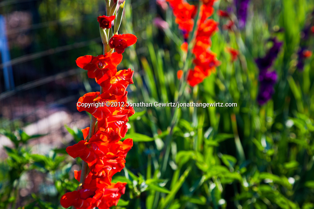 Red and violet flower stalks in a garden. WATERMARKS WILL NOT APPEAR ON PRINTS OR LICENSED IMAGES.