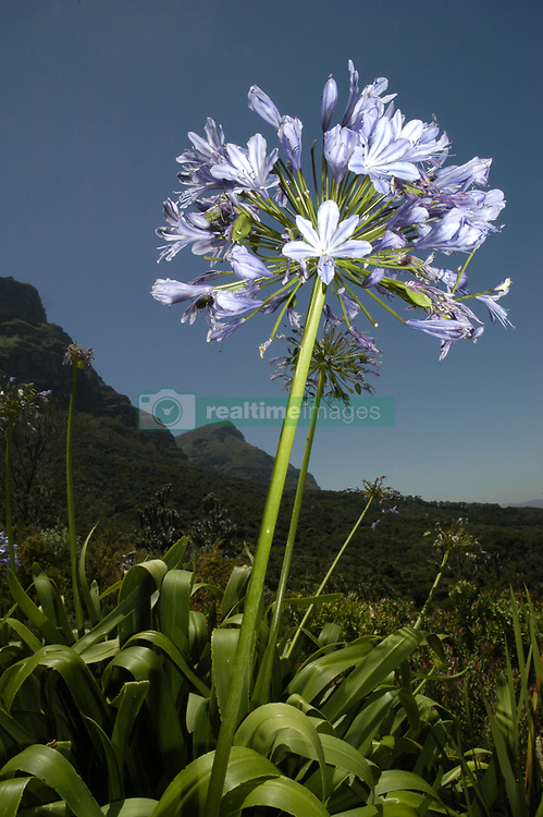 Flowers in Kirstenbosch Botanical Gardens with Table Mountain behind, Cape Town, South Africa. (Credit Image: © Axiom/ZUMApress.com)
