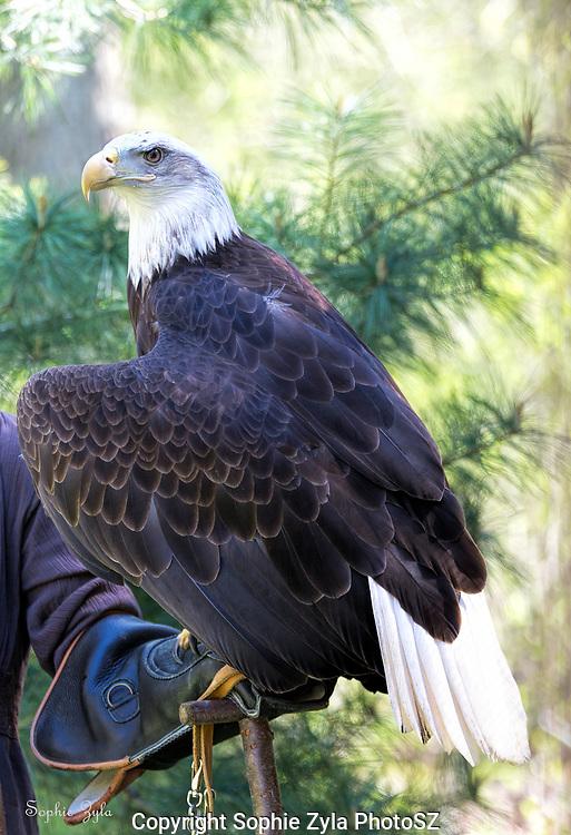 Bald Eagle on a glove