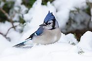 01288-05902 Blue Jay (Cyanocitta cristata) in Juniper Tree in winter Marion Co. IL