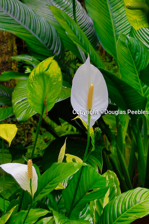 flower, Peace lily, Spathiphyllum cochlearispathum, Hawaii Tropical Botanical Garden, Hilo, Hamakua Coast, Big Island of Hawaii