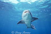 swimming nurse shark, Ginglymostoma cirratum, Bahamas ( Western Atlantic Ocean )