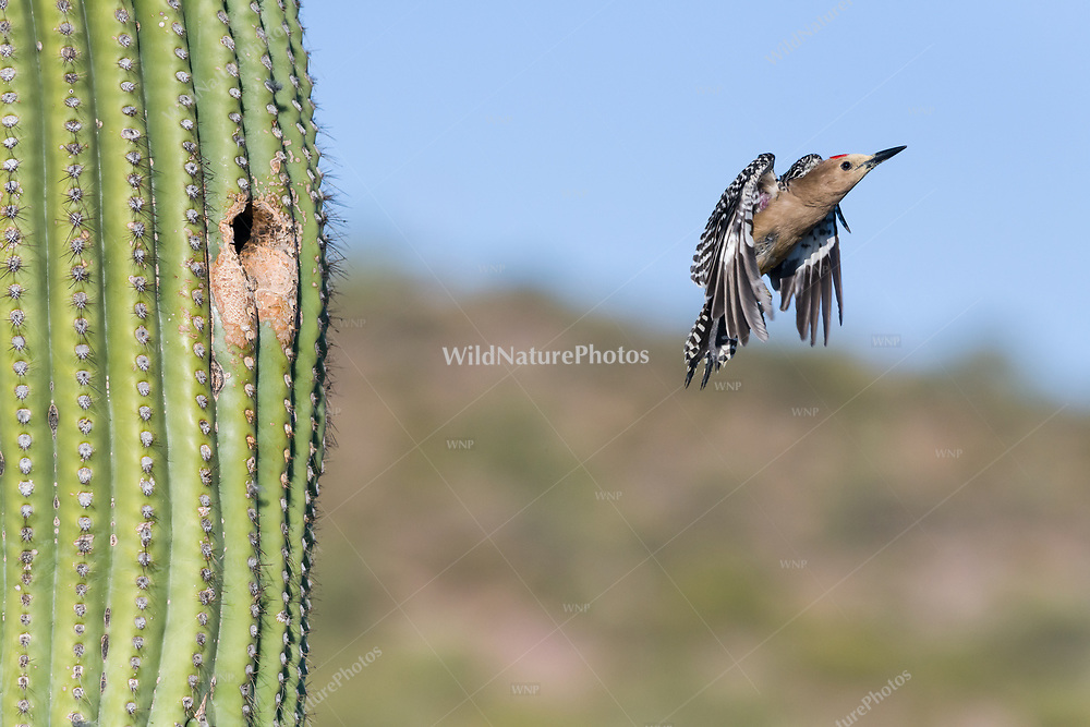 A male Gila Woodpecker (Melanerpes uropygialis) flies out of his nest in a Saguaro (Carnegiea gigantea). Arizona