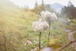 Close-up of meadowsweet flowers, Bavaria, Germany