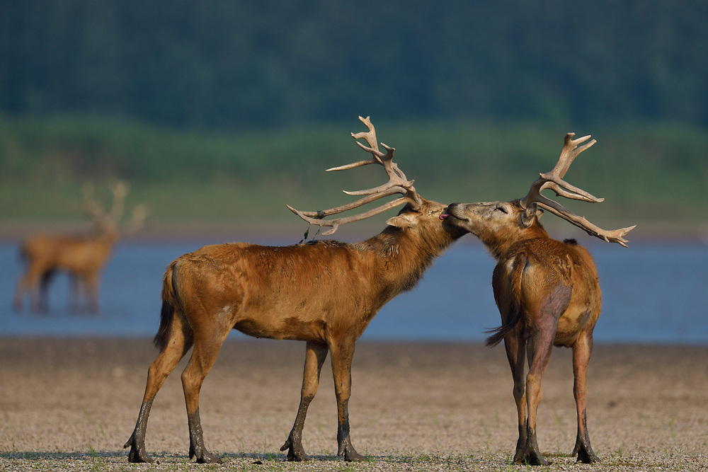 Two male Père David's deer, or Milu, Elaphurus davidianus, Hubei Tian'ezhou Milu National Nature Reserve, Shishou, Hubei, China