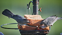 Pair of Gray Catbirds at the bird feeder Image taken with a Nikon D5 camera and 600 mm f/4 VR lens (ISO 900, 600 mm, f/5.6, 1/1250 sec).