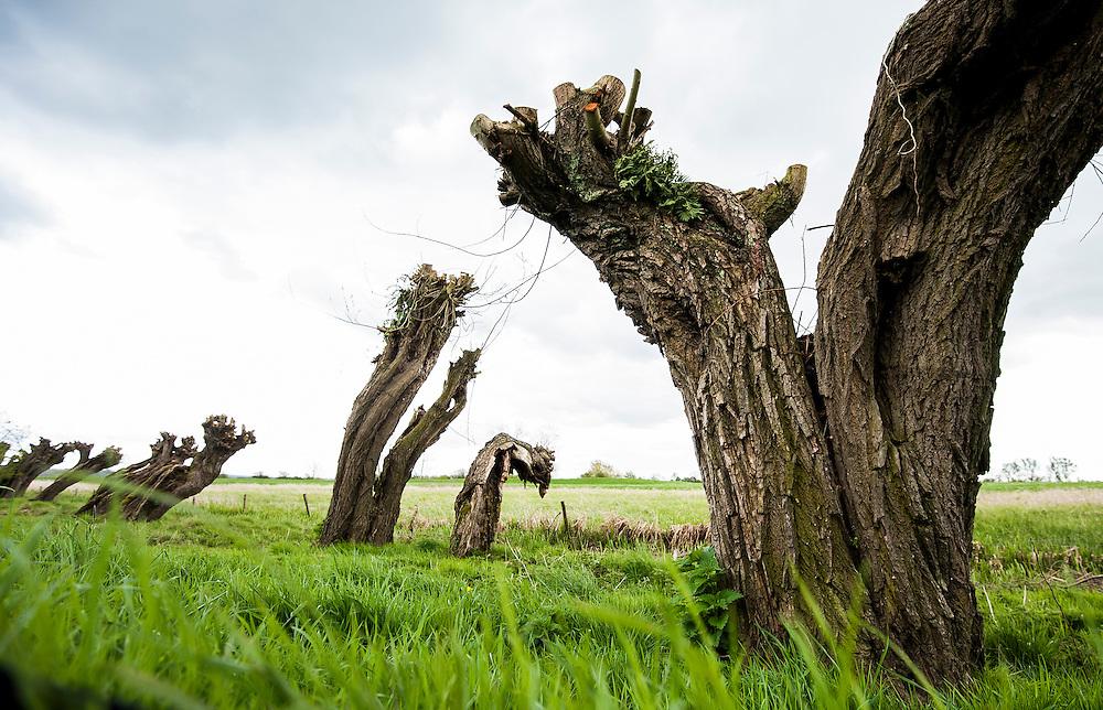 Nederland, Culemborg, 19 april 2012.Knotwilgen in de uiterwaarden van de Lek. .Typisch hollandse rivierenlandschap.Foto(c): Michiel Wijnbergh