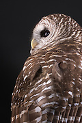 Barred Owl (Strix vary). Spooky came to ORC in 2007 from another rehabilitation center as an adult bird.