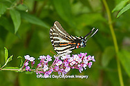03006-00306 Zebra Swallowtail (Eurytides marcellus) on Butterfly Bush (Buddleia davidii) Marion Co., IL
