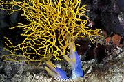 blue ribbon eels, Rhinomuraena quaesita, pair sharing burrow, Kapalai, Sabah, Borneo, Malaysia ( Celebes Sea / Western Pacific Ocean )