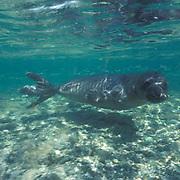 Northern Elephant Seal, (Mirounga angustirostris)  Young seal swimming in tidal pool. Baja, Mexico.
