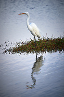 Great Egret. Black Point Wildlife Drive, Merritt Island National Wildlife Refuge. Image taken with a Nikon Df camera and 300 mm f/4 lens (ISO 160, 300 mm, f/4, 1/1250 sec).