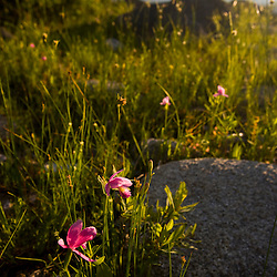 Rose pogonia orchid<br />