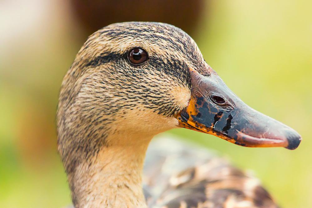 A closeup Head-shot Of A Female Mallard Duck