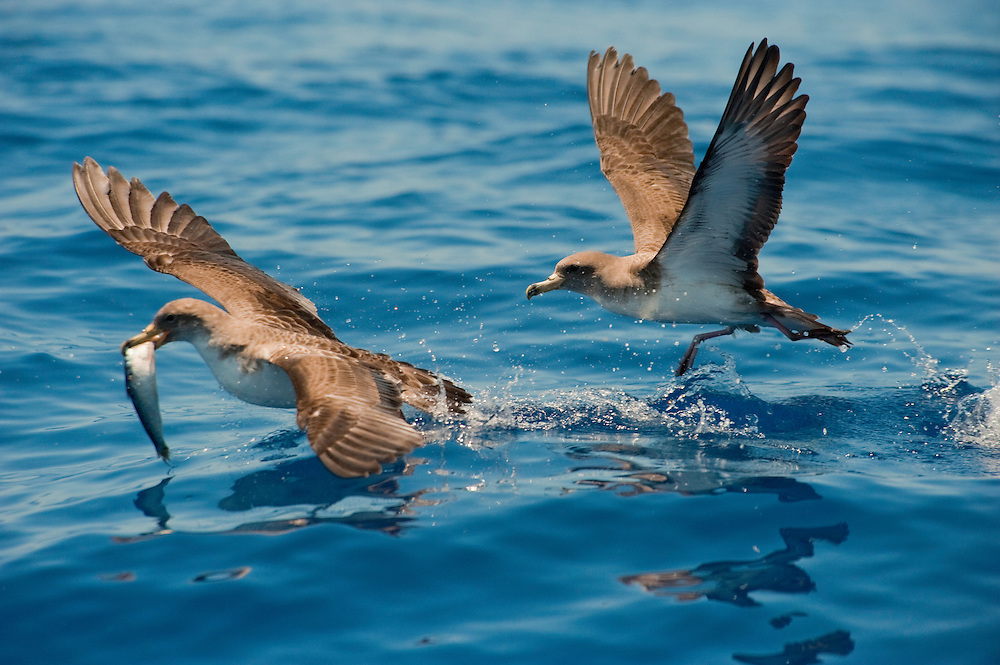Cory's Shearwater (Calonectris diomedea)  Canary Islands. Spain