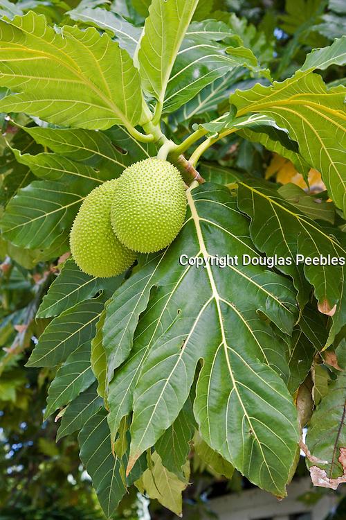 Breadfruit<br />