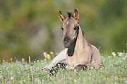 Wild mustang foal in a field of wildflowers